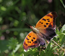 Question Mark Butterfly Dorsal...