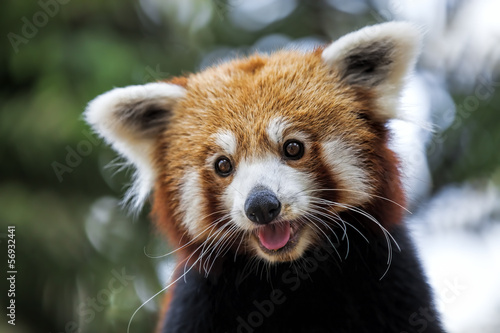 Stickers pour portes Panda Red Panda