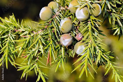 Fotografie, Obraz  Foliage and berries of common juniper (Juniperus communis)