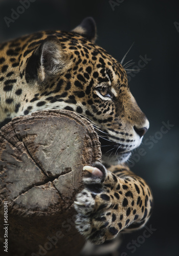 Photo Stands Panther Portrait of leopard