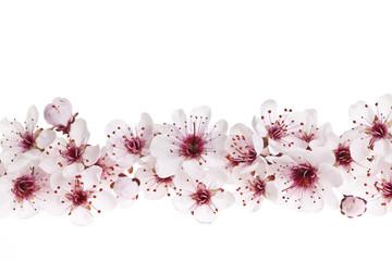 FototapetaCherry blossoms border