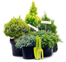Conifer Sapling Trees In Pots ...