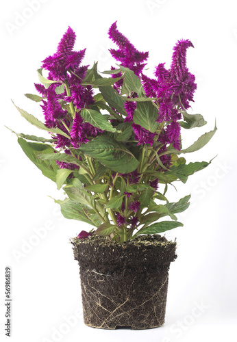 Pianta Con Fiori Viola.Pianta Con Fiori Viola Senza Vaso Buy This Stock Photo And