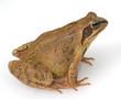 Grasfrosch, Rana temporaria,