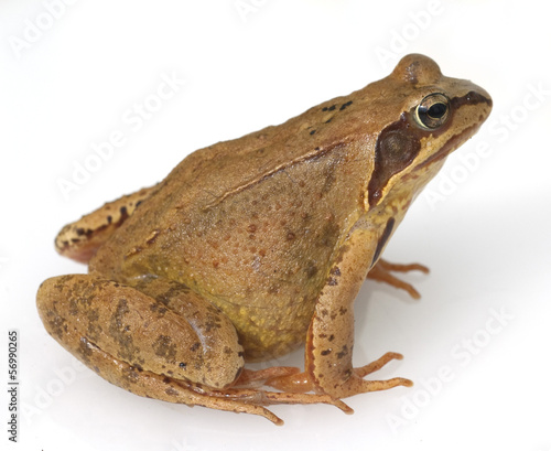 Foto auf Leinwand Frosch Grasfrosch, Rana temporaria,