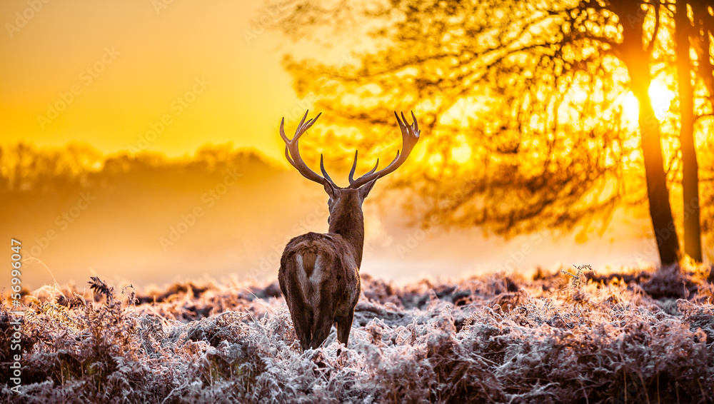 Fototapeta Red deer in the morning sun