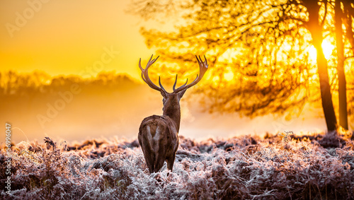 Fototapety, obrazy: Red deer in the morning sun