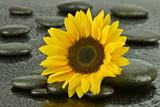 Fototapeta Kamienie - Słonecznik na kamieniach do spa