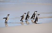Jackass Penguin At The Boulders Beach