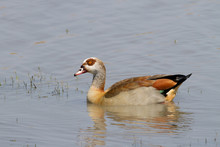 Egyptian Goose In Dam In Kruge...