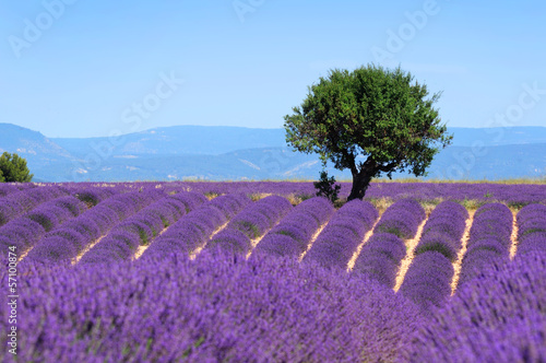 Tuinposter Lavendel Lavender field. The plateau of Valensole in Provence