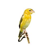 Female Bird Of Asian Golden Weaver