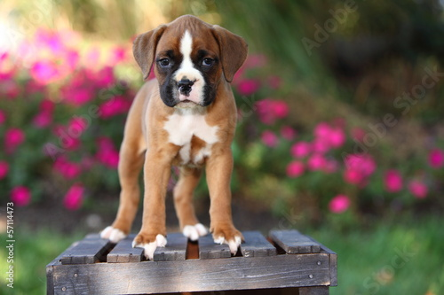 Photo  Boxer Puppy Standing on Wooden Crate