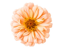 Isolated Zinnia Flower