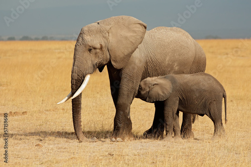 Foto op Aluminium Olifant African elephant with calf, Amboseli National Park