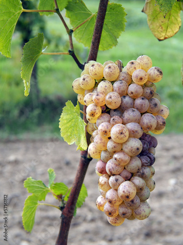 Fotografie, Obraz  Botrytised Chenin grape, early stage, Savenniere, France