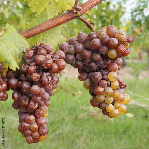 Fotografie, Obraz  Botrytised Chenin grape, early stage, Savenniere, France