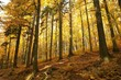 Autumn beech forest on the mountain slope