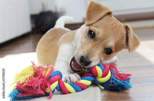 Foto  Jack Russell Terrier Welpe kaut an seinem Spielzeug