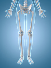 Medical Illustration Of The Leg Bones