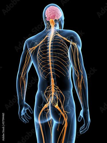 Fotografía  medical illustration of the nervous system