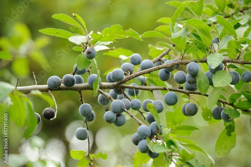 Blackthorn (Sloe or Prunus Spinosa) on Tree Branch Canvas-taulu