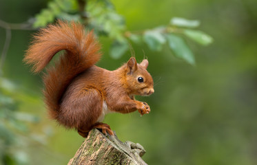 FototapetaRed Squirrel in the forest