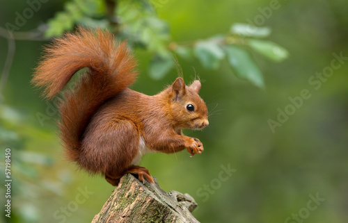 Deurstickers Eekhoorn Red Squirrel in the forest