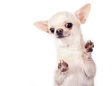 Happy Funny Small Dog