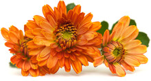 Orange Spray Chrysanthemum,