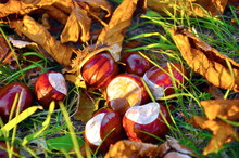 Conkers