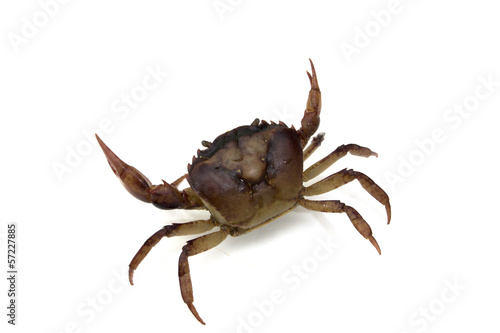 red field crab