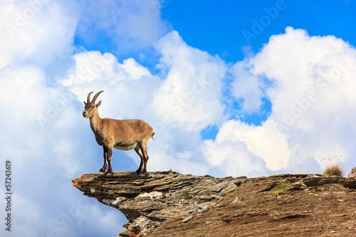 Stambecco in montagna su roccia Fototapet