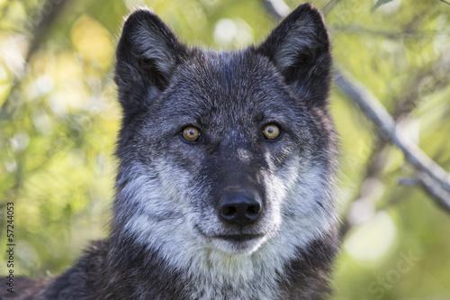 wolf плакат
