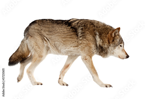 Foto op Aluminium Wolf wolf. Isolated over white