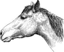 Profile Of Horse Head