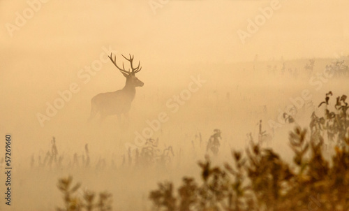 Photo sur Aluminium Cerf Red deer with big antlers stands on meadow on foggy morning