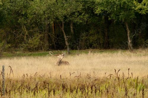 Fotobehang Ree Roaring deer in high grass beside forest