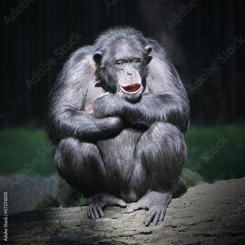 Worried Chimpanzee. Fototapeta