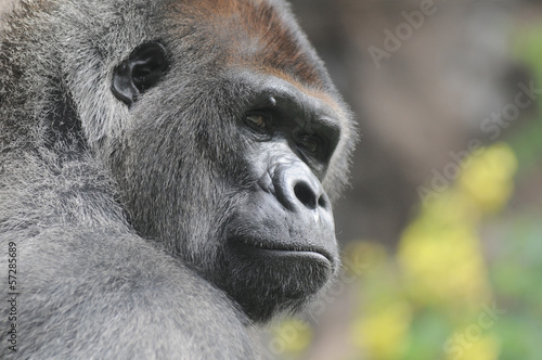 One Adult Black Gorilla Poster