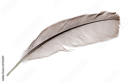 dark grey one rooster feather on white