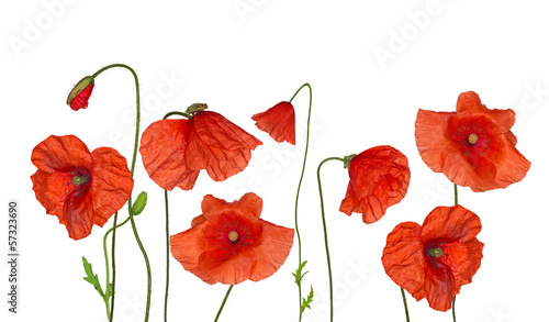 Poster de jardin Poppy groop of wild red poppy flowers on white