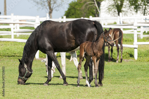 Fotografie, Obraz  Mare and foal on a summer pasture