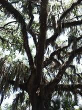 Spanish Moss Tree