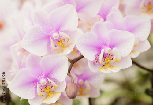 The violet Phalaenopsis