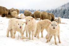 Sheep Skudde With Lamb Eating The Hay