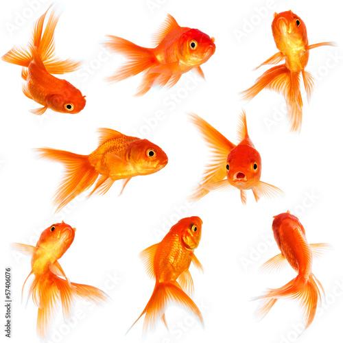 Slika na platnu Goldfish
