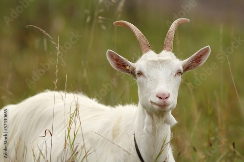 Fotografie, Tablou weiße hausziege / white goat