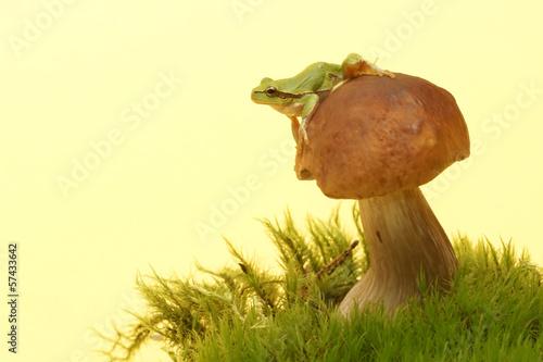 Photo Tree frog (Hyla arborea) on mushroom, Boletus