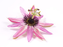 Passion Flower (Passiflora L.)...